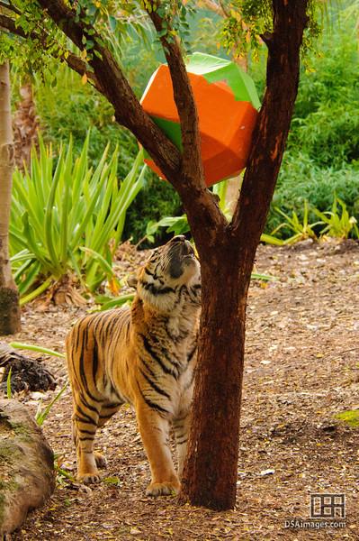 Sumatran Tiger enjoying an enrichment toy