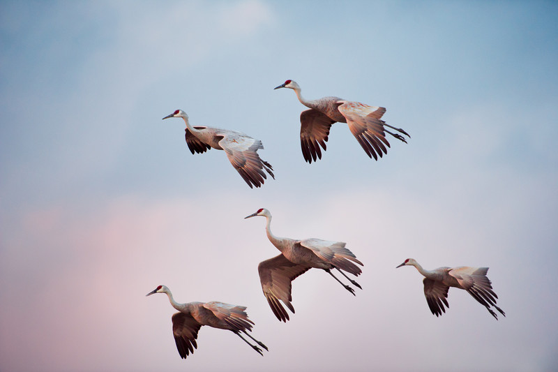 Sandhill cranes, Grus Canadensis at Bosque del Apache National Wildlife Refuge, New Mexico, in evening light, legs decended for landing.