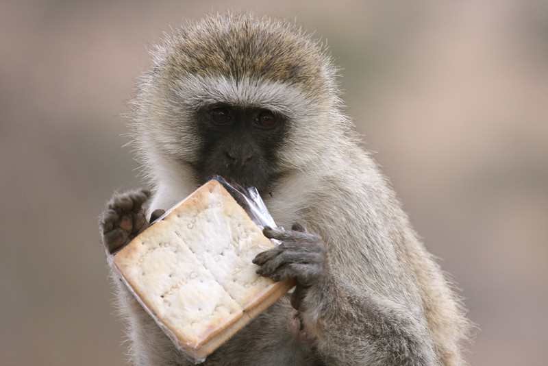 Black Faced Vervet Monkey. This mother grabbed these crackers from some unsuspecting tourists at a picnic area.