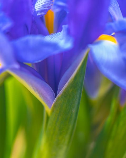 BLUE IRIS   11