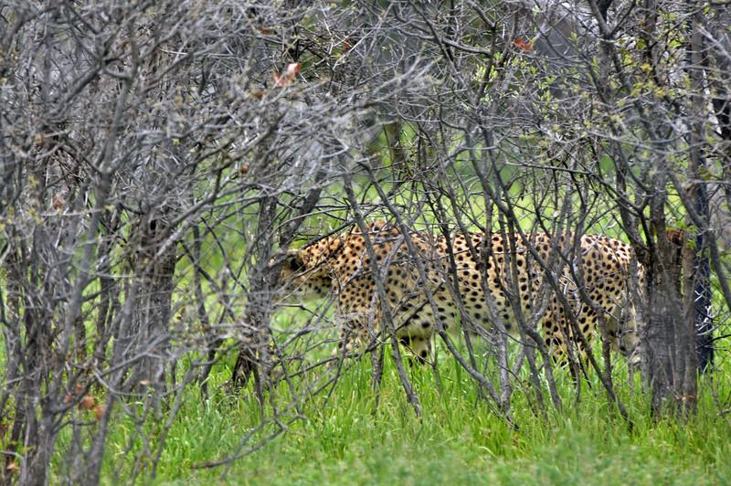Cheetah 01.jpg