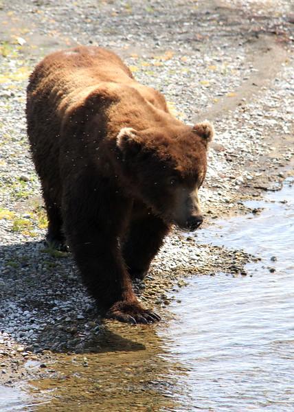 Katmai Bear11.jpg