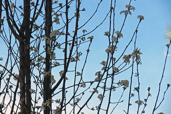 February 24 - March 11:  Spotlight on the Cleveland Select Flowering Pear tree .  .  .
