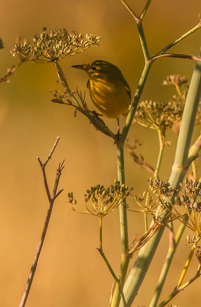 Yellow Warbler Early Evening