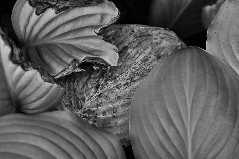 Hot Summer Hosta Leaves