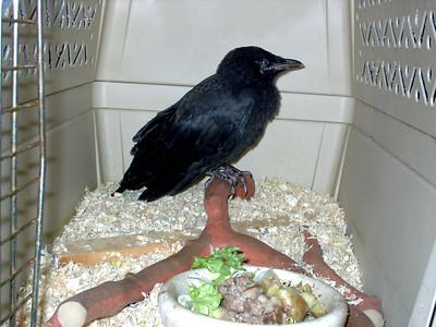 Injured Fledgling Crows