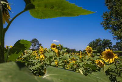 Buttonwood Farm Sunflowers Field 2016