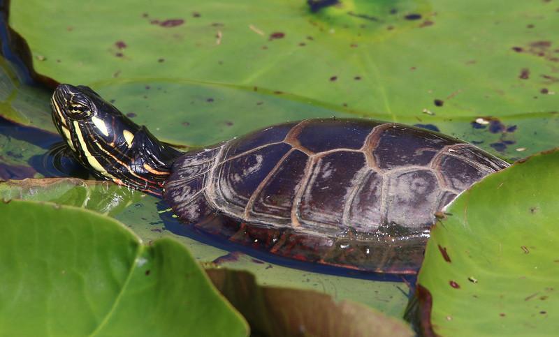 painted turtle maine 4.jpg