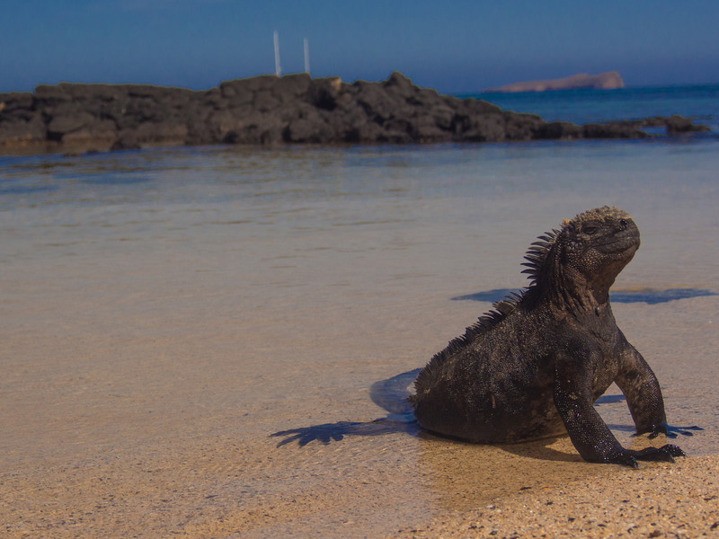 marine iguana 2.jpg