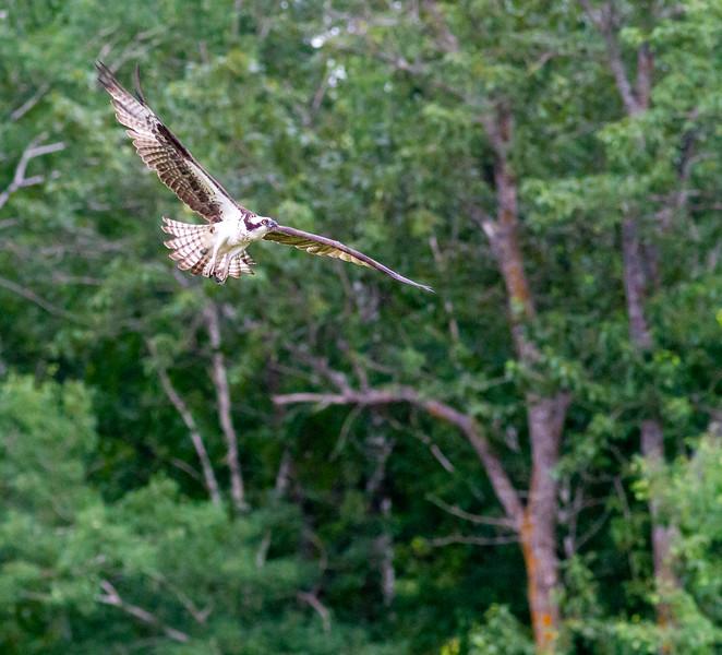 Osprey at nest Moose Lake Sewage Ponds Carlton County MN  IMG_0038.jpg