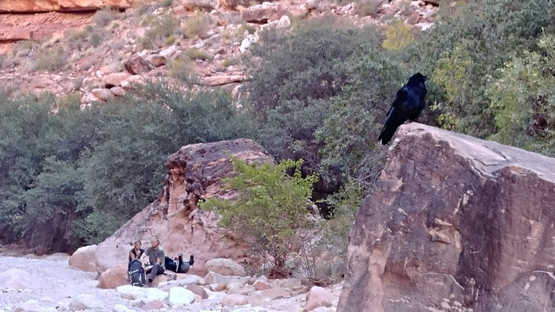 Ravens are pretty curious.
