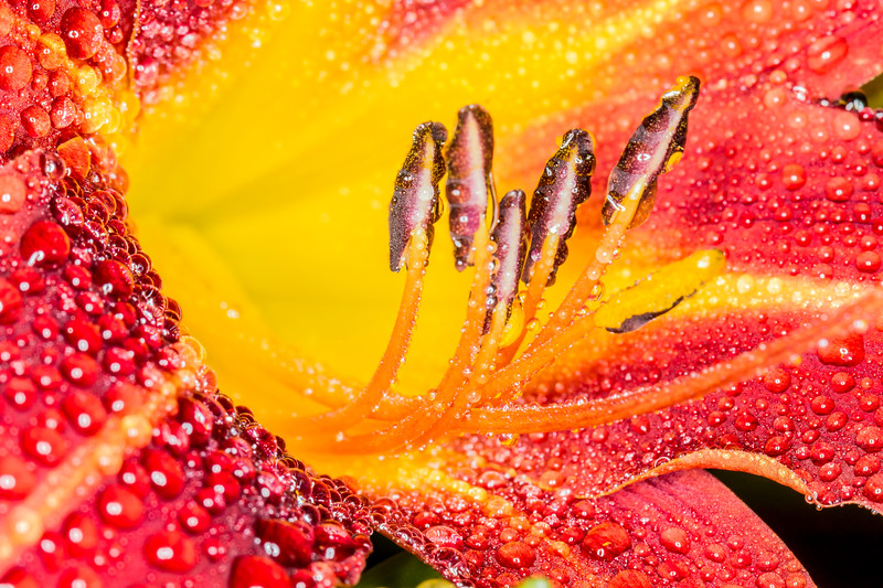 Dew-Covered Day Lily