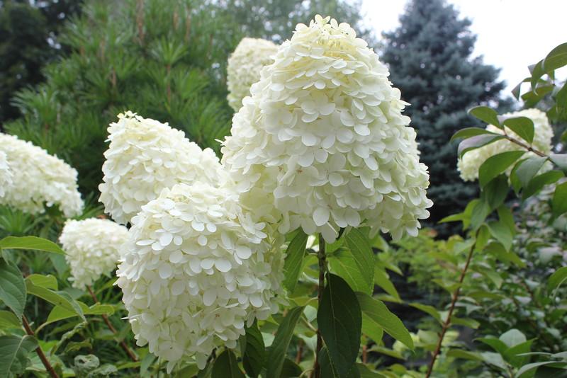 Hydrangeas - White