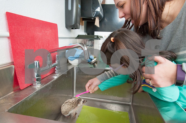 01/25/18 Wesley Bunnell | Staff Children were able to get an up close look at animals at Imagine Nation in Bristol on Thursday afternoon. Annabelle Moreiras, age 2, helps give a bath to Pinwheel the hedgehog during the 1:30 animal show run by Karen Pac.