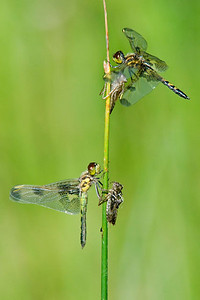 Dragonflies and their Larval Shells