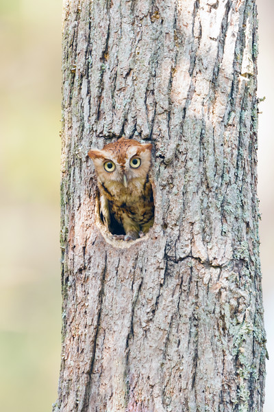 Eastern Screech Owl Red Morph in Tree Cavity Vertical.jpg