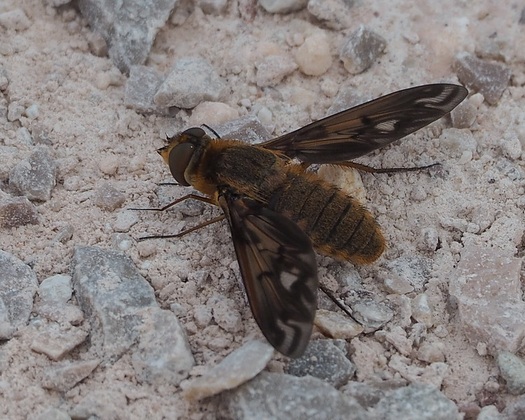 Poecilanthrax alcyon (bee fly species)