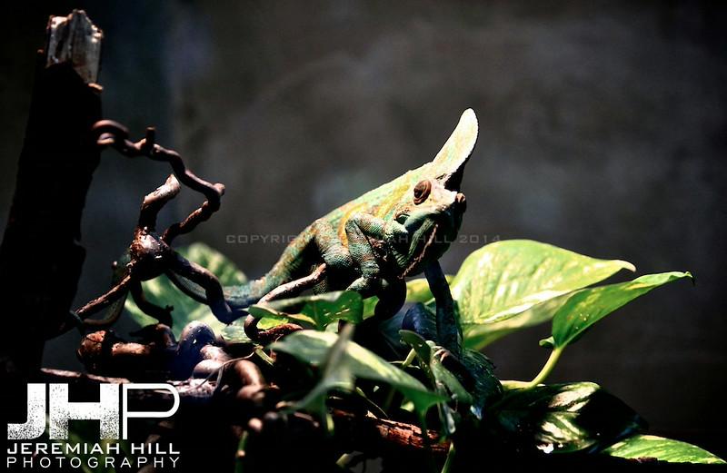 """Chameleon #2"", Toronto Zoo, 2013 Print JP13-99-392"