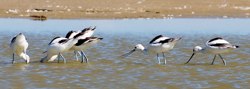 More American Avocets foraging