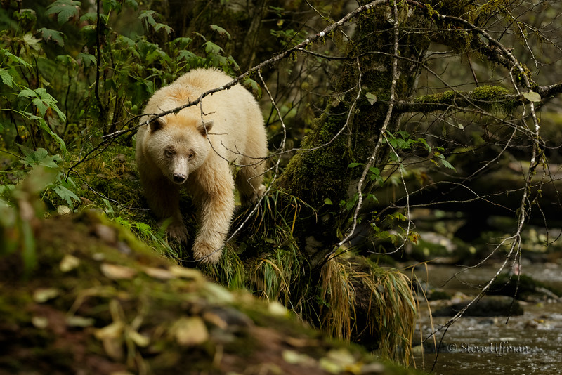 20150930-_G7Q8675Spirit-Bears-British-Columbia - Copy.jpg