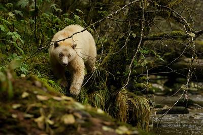 Spirit Bears