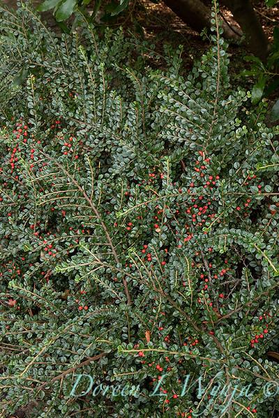 Cotoneaster horizontalis 'Perpusillus'_2684.jpg