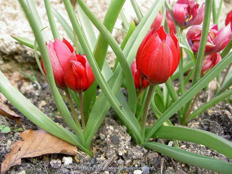 Tulipa 'Liliput'