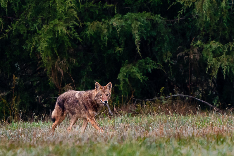 "This was a lucky happenstance coming across a Coyote on my walk one morning.  Also shooting Aperture Priority AutoISO minSS but I guess I had it set to ""fast"" instead of ""faster, resulting in SS of 1000."