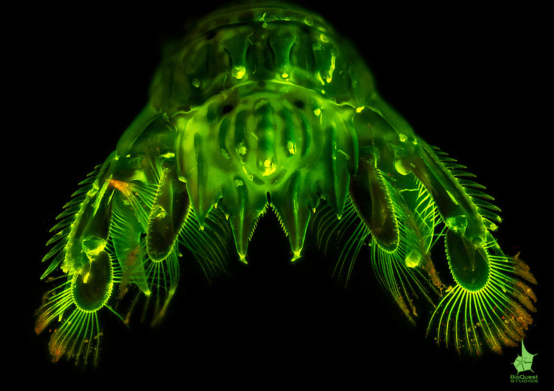 Tiny mantis shrimp telson and uropods fluorescence. Possibly Gonodactylaceus falcatus.