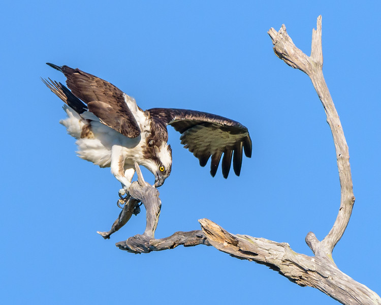 Balancing Osprey in the Wind