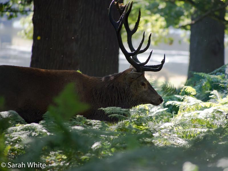 Deer rut_260915_658.jpg