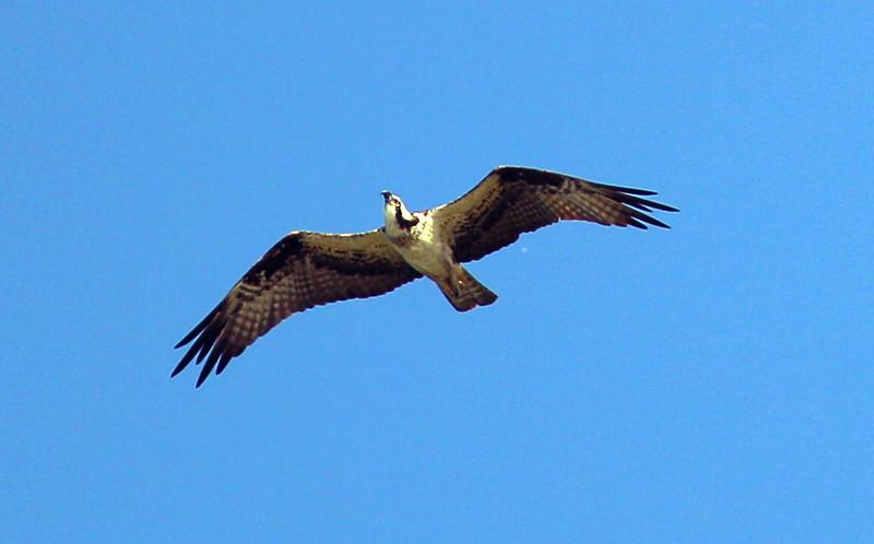 Overhead, an Osprey circles ...