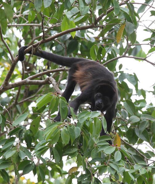 costa_rica_howler_monkey_3.JPG