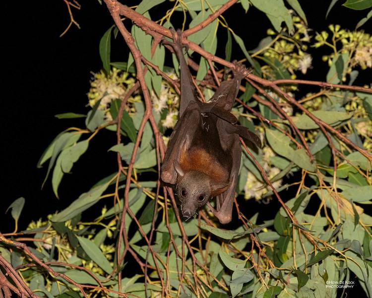 Little Red Flying-fox, Paluma, QLD, Jan 2020-2.jpg