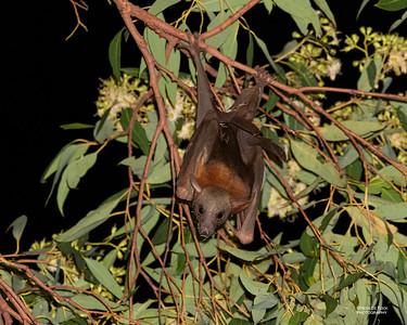 Little Red Flying-fox (Pteropus scapulatus)