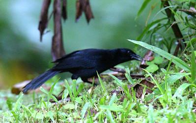 Melodious Blackbird