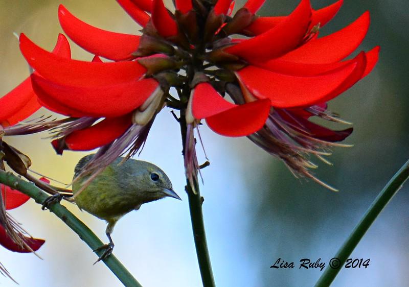 Orange-crowned Warbler - 12/23/2014 - Grape Street dog Park, San Diego