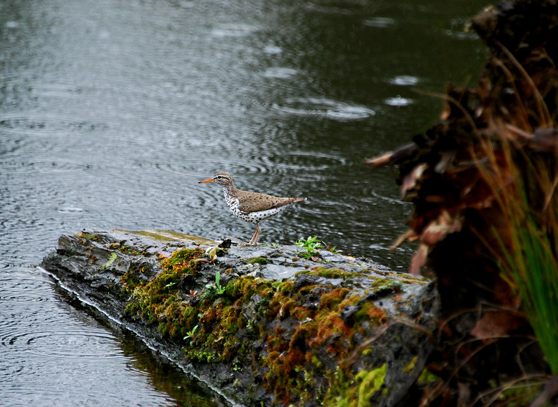 Spotted Sandpiper Seattle, WA