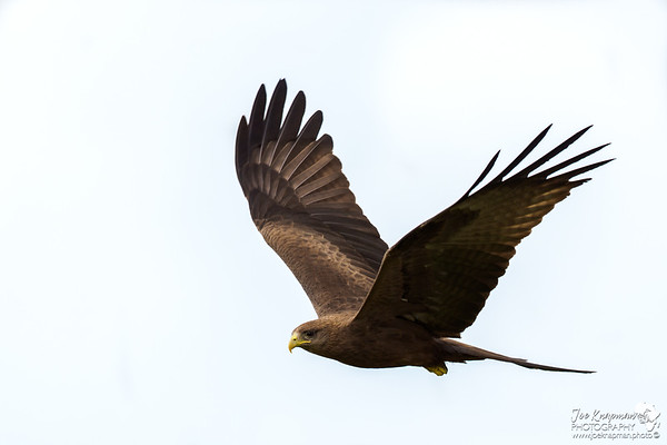 Black Kite Fly Past