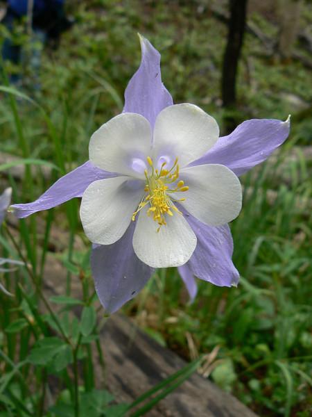 Columbine (state flower)