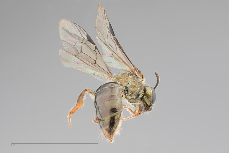 Homalictus concavus