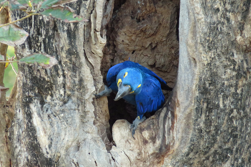 Hyacinth Macaw exiting her nest.