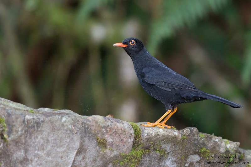 Glossy Black Thrush - San Isidro Lodge, Ecuador