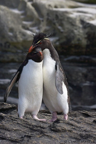 Rockhopper Penguin couple