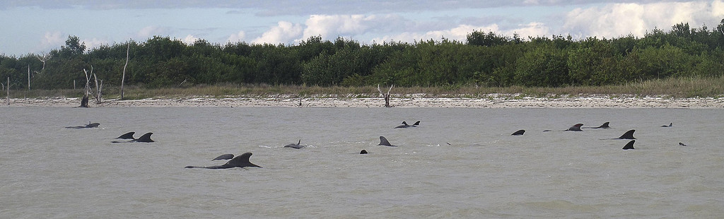 . A handout photograph from the National Park Service made available on 04 December 2013 shows pilot whales that have become stranded near the shoreline of the Everglades National Park, Florida, USA, 03 December 2013. Federal officials said some whales have died. The marine mammals are known to normally inhabit deep water.  EPA/NATIONAL PARK SERVICE /