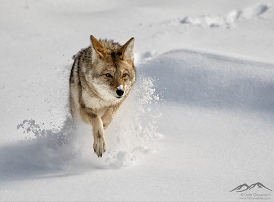 Yellowstone 2019 Wildlife