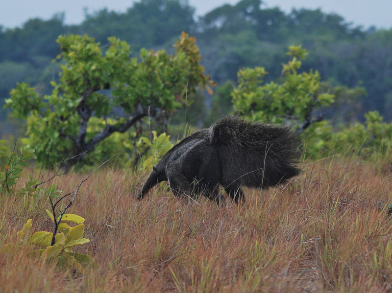 Giant Ant Eater, by A.K. Guyana 2011