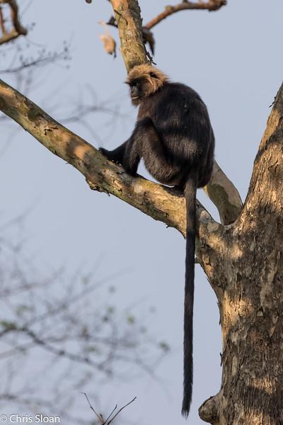 Nilgiri Langur at Ambuli Illam Trail, Topslip, Tamil Nadu, India (02-27-2015) 061-390.jpg