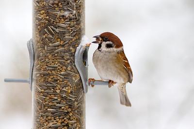 Sparvfinkar – Sparrows