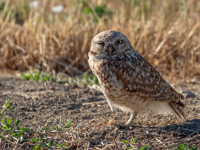 Yolo County Owls and Ibis in June